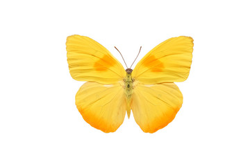 бабочка Phoebis Philea