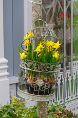 Fresh narcissus in decorative cage hanging on a tree