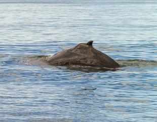 Fin whale out of the water - Iceland