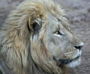 Lion B