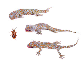 gecko isolated on white background.
