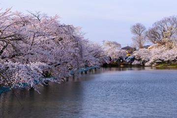 長野 須坂 臥竜公園の桜 夕暮れ時