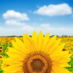 sunflower closeup over field. soft focus