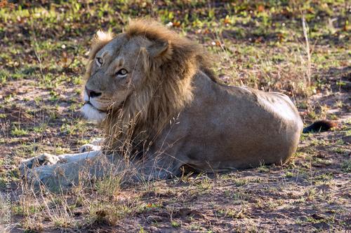 Lion in Repose