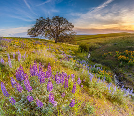 Wild flowers filed and dramatic sunset in Columbia hills state park, Washington with mount Hood in the background