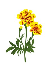 Realistic marigold flowers isolated on the white background