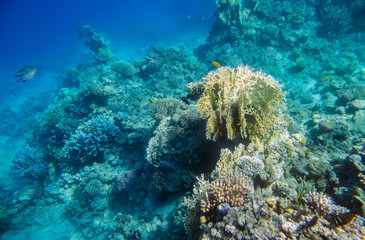 beautiful and diverse  coral reef and fish of the red sea