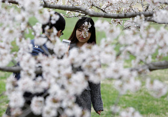 People make a picture of themselves with blooming cherry tress in Washington