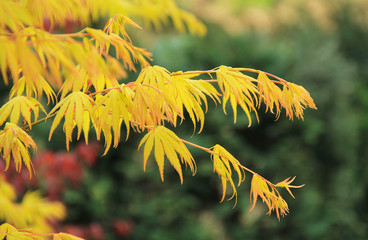 Wall Mural - twigs of Japanese maple (Acer palmatum) with yellow leaves