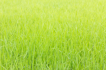 background of green rice field with shallow depth of field