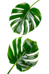 Two Tropical jungle Monstera leaves isolated