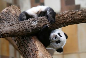 Giant Panda cub Fu Feng is seen at Schoenbrunn Zoo in Vienna