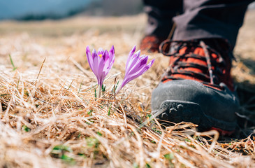 Traveler can step on tender crocus flower on mountain field