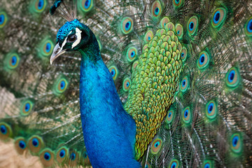 peacock male bird