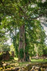 Giant banyan ficus tree, Cambodia