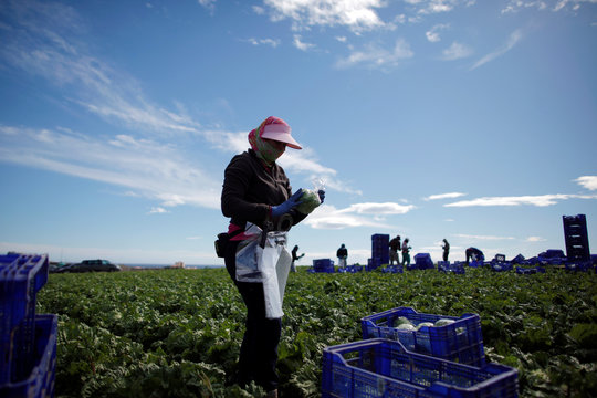 A worker wraps an iceberg lettuce at a lettuce plantation in Pulpi