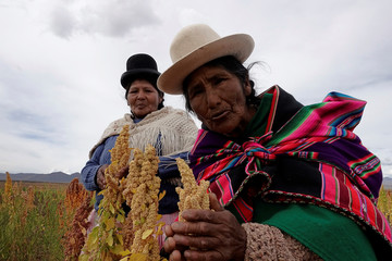 Aymara women hold quinoa plants as part of the sweet quinoa promotion at the Canaviri district in La Paz