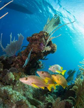 Reef cruising, Little Cayman