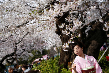 A woman wearing a Kimono poses for a souvenir photo with a blooming cherry blossoms at Ueno park in Tokyo