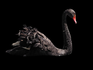 Foto op Canvas Zwaan Black swan sweaming isolated at the black