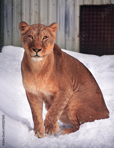 Lioness great sitting at the snow and looking at camera