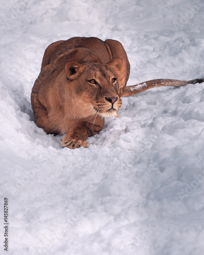 Lioness laying at the snow wating for jump