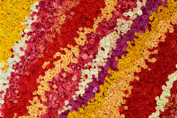 Colourful wall made of roses. Natural flowers
