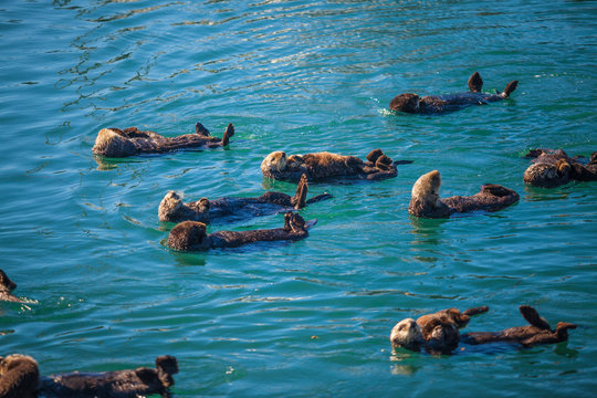 sea otters with pups raft up in the harbor at Moro Bay, California