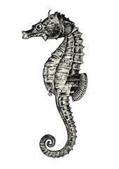 vintage animal engraving / drawing: seahorse or hippocampus - ocean vector design element