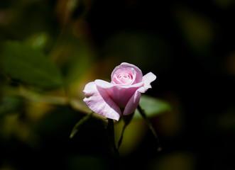 pink rose against a dark green background