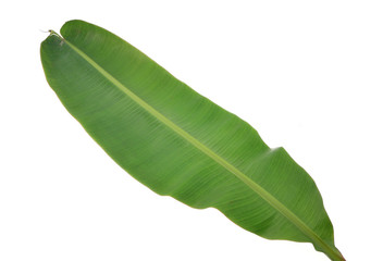 banana leaf/banana green leaf