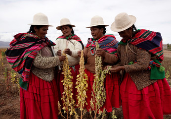 Aymara women inspect quinoa plants as part of the sweet quinoa promotion at the Canaviri district