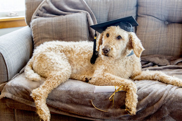 Poodle dog wearing graduation cap with diploma on a grey couch