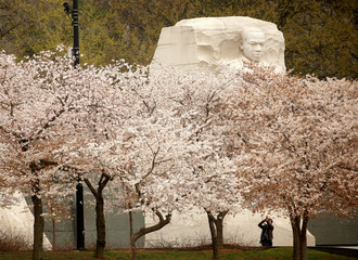 The face on the Martin Luther King Jr. Memorial rises above the cherry trees as a visitor photographs the blossoms along the Tidal Basin in Washington