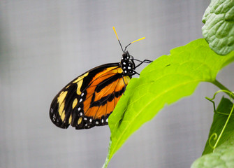 African Monarch Butterfly on a leaf
