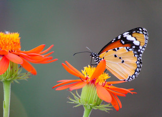 African Monarch butterfly on a flower