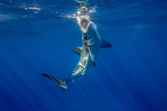 Great White Shark with bait.
