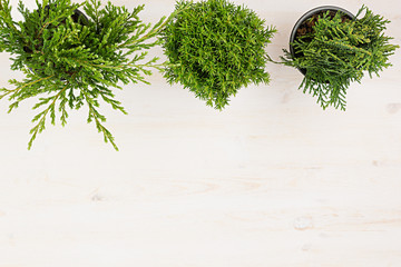 Green young  plants in pots on beige wood table background with copy space top view.