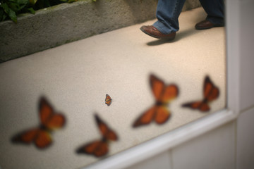 A Monarch butterfly is seen reflected in a mirror as it rests on the ground during the official Inauguration of the month of the Monarch butterfly at Chapultepec Zoo in Mexico City