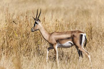 Thomson s Gazelle, Ngorongoro Crater, Serengeti National Park, Tanzania, Africa