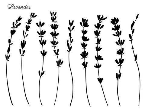 Lavender flowers hand drawn doodle vector black silhouette isolated on white, herbal vintage graphic collection, design for package tea, natural organic product, medicine, cosmetics, greeting cards