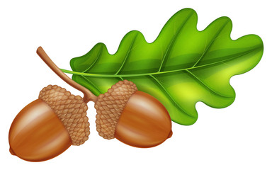 Oak branch with acorns and green leaf. Vector illustration.