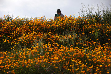 A woman photographs a massive spring wildflower bloom caused by a wet winter in Lake Elsinore