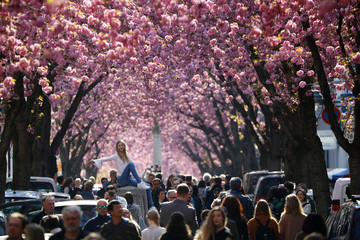 A tourist poses for a picture at Heerstrasse flanked by pink cherry tree blossoms on Cherry Blossom Avenue in downtown Bonn
