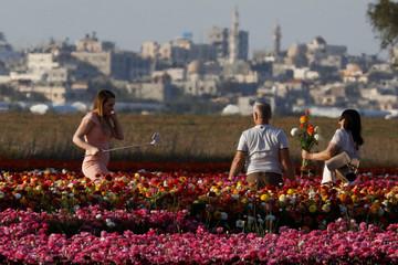 People pick buttercup flowers in a field near Kibbutz Nir Yitzhak in southern Israel, as Gaza Strip is seen at the background