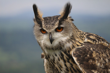 Eagle Owl close up with piercing fiery glare