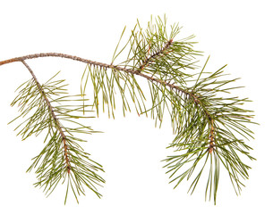 A pine branch with green games. Isolated on white background