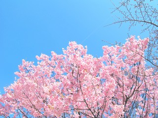 Full bloom pink cherry blossom or Sakura branches and blue sky background