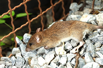 Young domestic brown color rat on the ground floor represent the disease carrier animal.