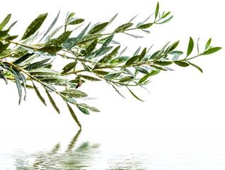 rameaux d'olivier sous la pluie avec reflets, fond blanc
